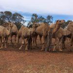 Menindee camels